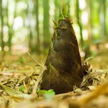 Bamboo shoot may prevent weight gain